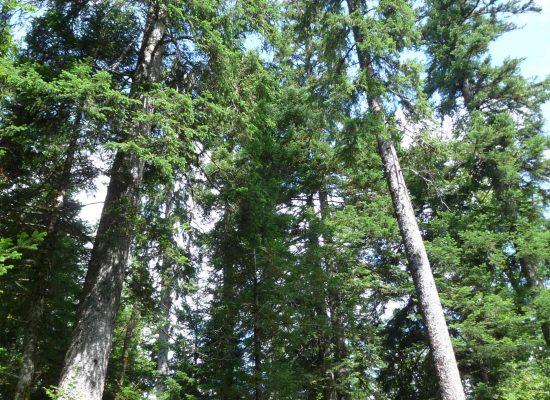 Epicéas en forêt.