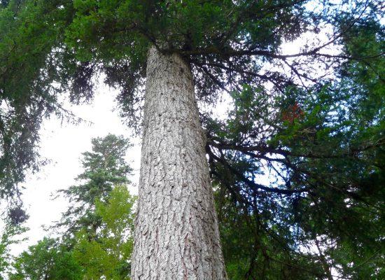 Epicéa forêt du Risoud.